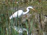 a great white egret walking through the tall reeds in the marsh